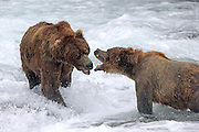 Two male Brown bears fight over a prime fishing spot at Brooks Falls.