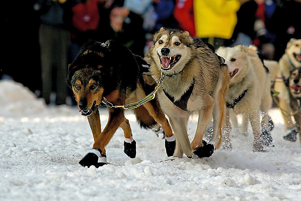 04 March 2006: Anchorage, Alaska - The lead dogs of 2004 champion Mitch Seavy head down historic 4th Avenue during the Ceremonial Start in downtown Anchorage of the 2006 Iditarod Sled Dog Race