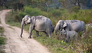 Wild Indian elephants crossing a road in Kaziranga NP, Assam, India.