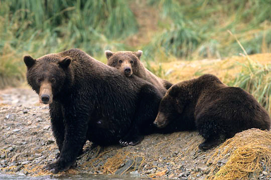 Alaskan Brown Bear, (Ursus middendorffi)  Mother on shore with cubs. Katmai National Park. Alaska.
