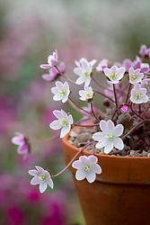 Hepatica yamatutai (pink backed).