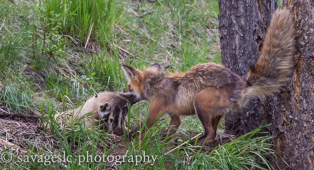 The fox grabs hold of the badger and pulls it out of the den.