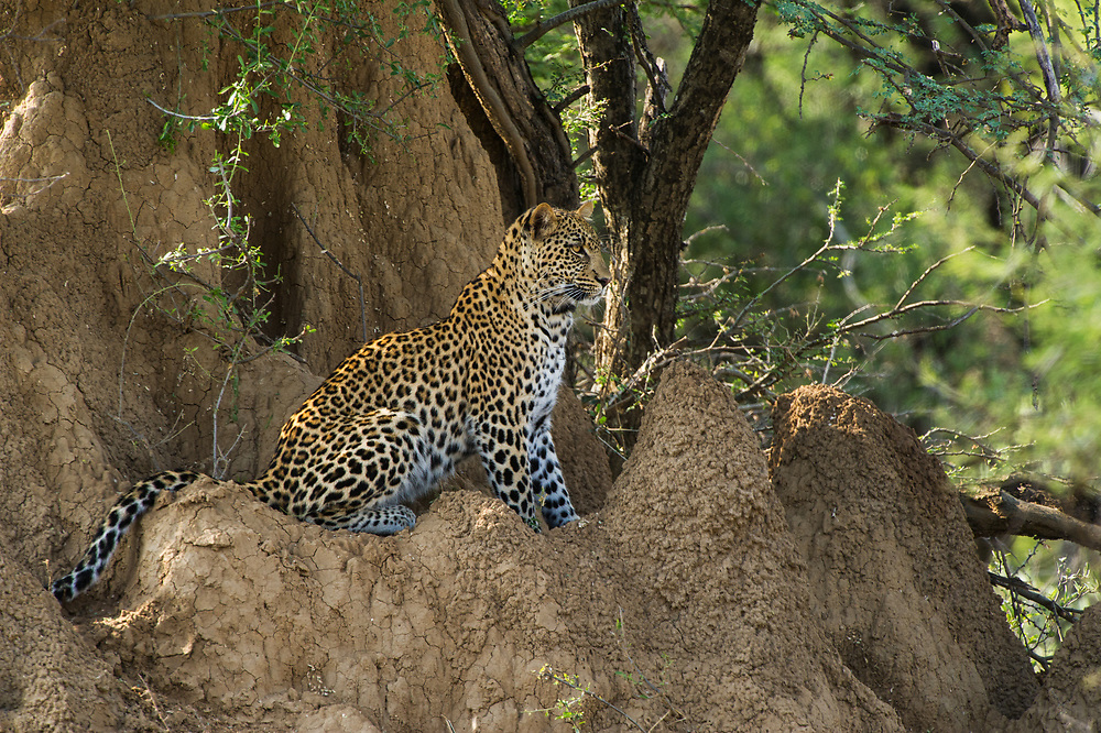 Leopard  (Panthera pardus)<br /> Marakele Private Reserve, Waterberg Biosphere Reserve<br /> Limpopo Province<br /> SOUTH AFRICA<br /> RANGE: Throughout Sub-Saharan Africa except interior of South Africa. Also in Asia.