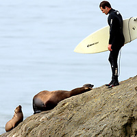 A surfer looks for a way around a sea lion and her pups at Lighthouse Point in Santa Cruz as he heads out to the Steamer Lane break on Wednesday October 21, 2009..