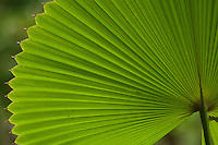 Macro shot of a fan palm in the rain forest of Halmahera Island, Indonesia.