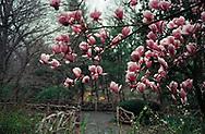 Magnolia blossoms in Shakespeare Garden, Central Park