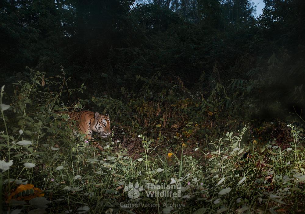 Indochinese tiger (Panthera tigris corbetti) - Thailand.