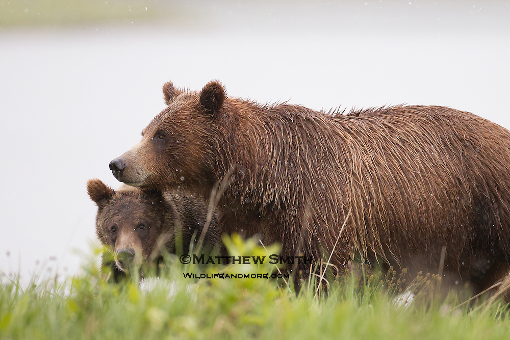 Grizzly Bear #399 and her two Cubs roaming Grand Teton National Park in the Springtime