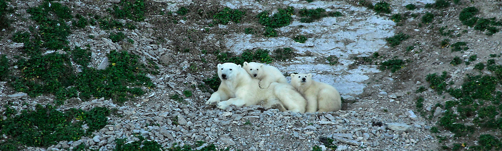 Polar bear ( ursus maritimus ) come to Akpatok Island, to feed on the thousands of thicked billed murres that nest on the area. Baffin Bay.  Baffin Island. High Arctic. Canada&amp;#xA;<br />
