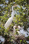 Great Egret, Louisiana, North America