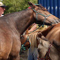 Two horses groom each other at the annual Spancilhill Horse Fair on Tuesday.<br /> Photograph by Yvonne Vaughan