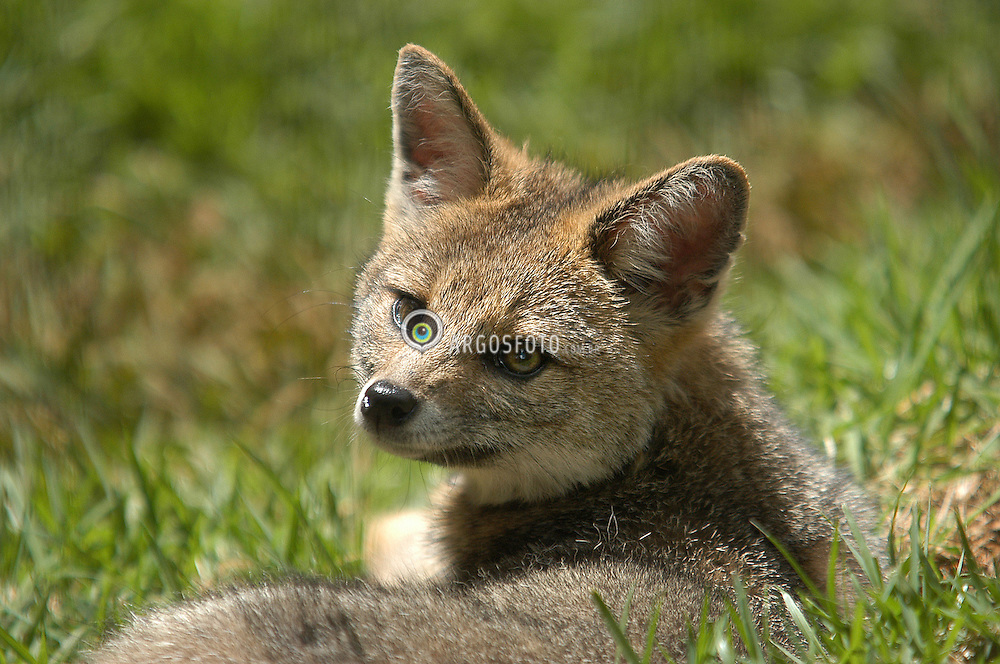 "Graxaim ou sorro (Pseudalopex gymnocercus)  mamifero carnivoro da familia dos canideos, encontrado nos campos  do Sul do Brasil, no Paraguai, no Norte da Argentina e no Uruguai, sendo conhecido como zorro de las Pampas./The pampas fox (Lycalopex gymnocercus), also known as Azara's fox, or Azara's zorro, is a medium sized zorro, or ""false"" fox, native to the South American pampas."