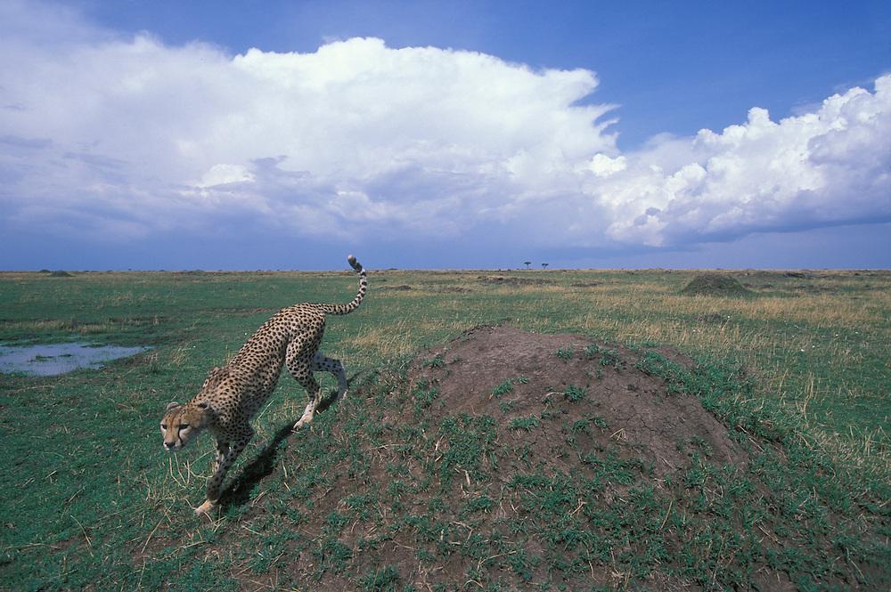 Kenya, Masai Mara Game Reserve, Adult Female Cheetah (Acinonyx jubatas) standing on low mound on savanna
