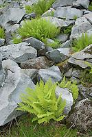 Athyrium americanum (Butters) Maxon, alpine ladyfern amidst boulders in the North Cascades Washington USA