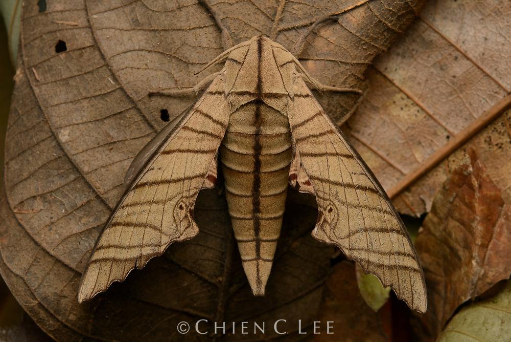 Sphinx moth (Marumba tigrina). Sarawak, Malaysia.