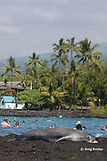 Hawaiian monk seal, Monachus schauinslandi, Critically Endangered endemic species, resting on shoreline at Kahalu'u Beach Park, while visitors play in background; Kahaluu Beach, Kailua Kona, Hawaii Island ( the Big Island ) Hawaiian Islands ( Central Pacific Ocean )
