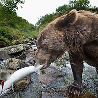 USA, Alaska, Katmai National Park, Close-up of Coastal Brown Bear (Ursus arctos) bites into salmon for spawning stream along Kuliak Bay