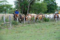 Pantaneiro cowboys collecting cattle, The Pantanal, Mato Grosso, Brazil