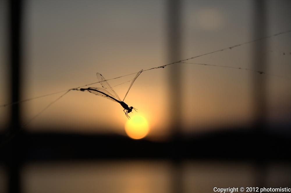 damselfly spider web sunset