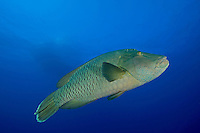 Immature Napoleon Wrasse and Dive Boat