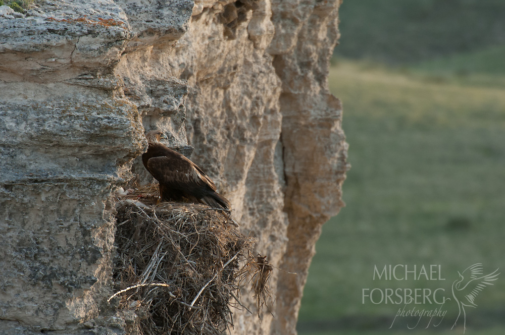 Sioux County, Nebraska<br /> <br /> A golden eagle sits on nest in evening light.