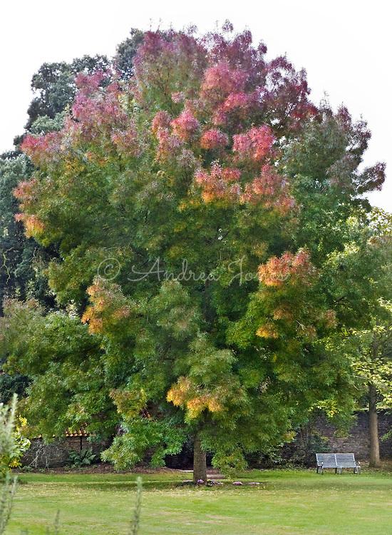 Fraxinus angustifolia 'Raywood' (ash 'Raywood')