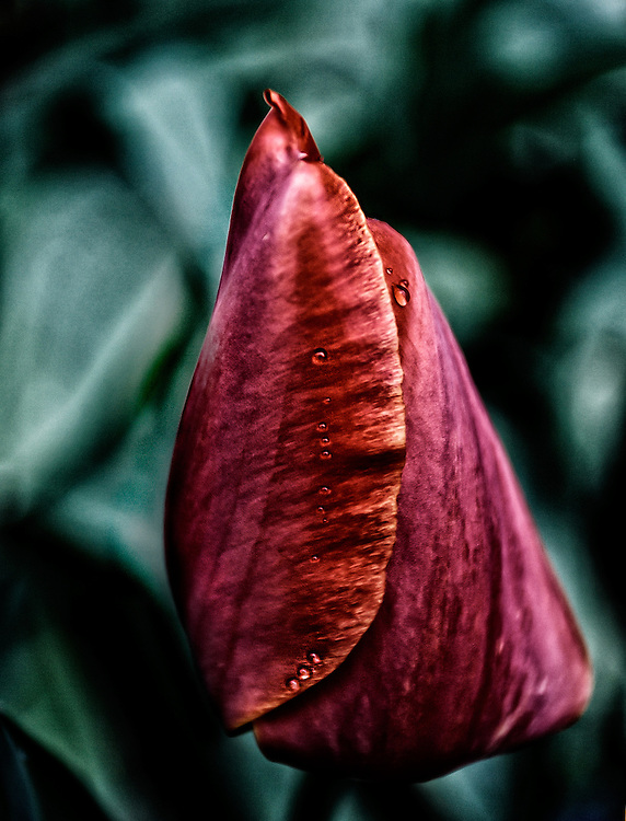 A red tulip at the close of the day.