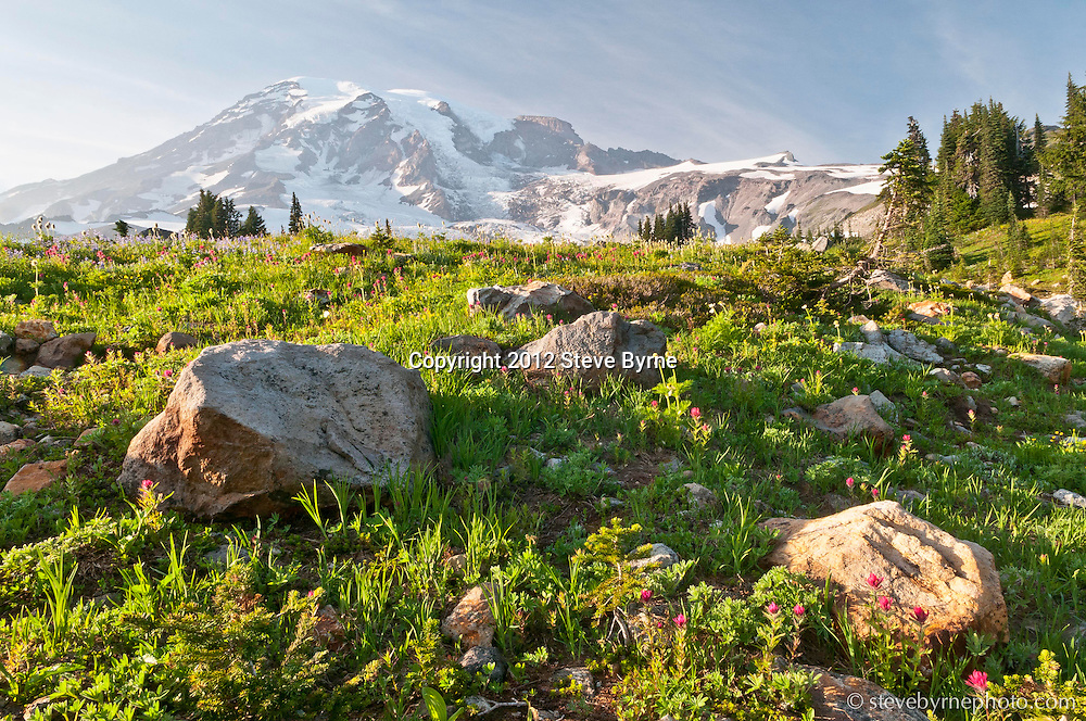 Wildflowers carpet the flanks of Mount Rainier near Paradise.  Mount Rainier National Park, Washington.