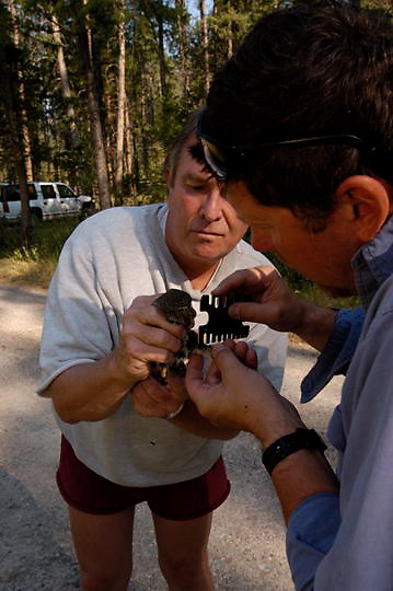 Denver Holt, biologist for the Owl Research Institute in Charlo, Montana, studying the Northern Pygmy Owl (Glaucidium gnoma) Montana, as property owner, Bill Bennington holds adult.