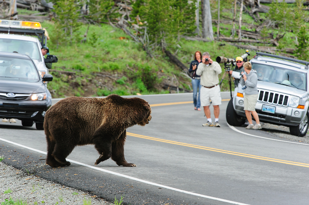 Tourists photograph a grizzly bear (Ursus arctos) in Yellowstone National Park, Wyoming