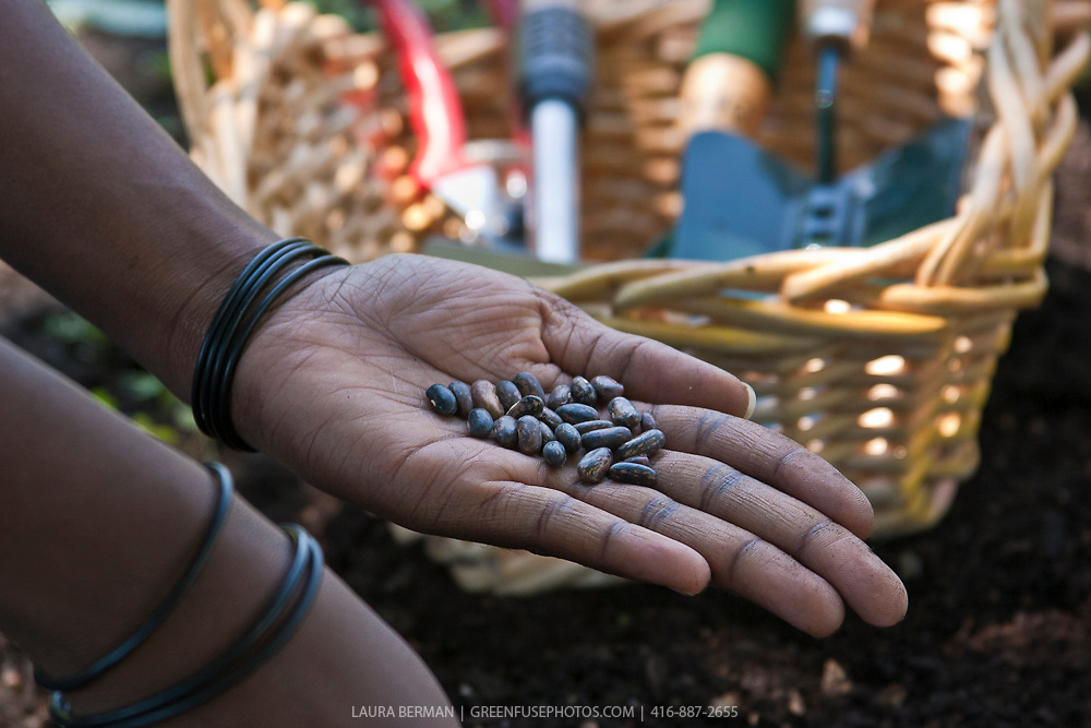 Closeup on the hands of an African-American gardener holding bean seeds with gardening tools in the background.