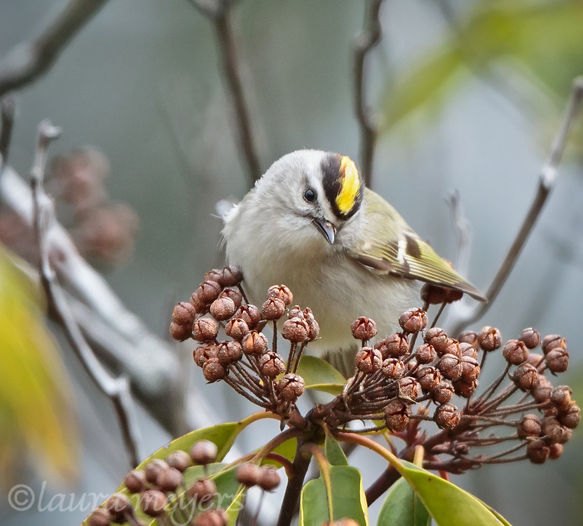 Golden-crowned Kinglet with flowers
