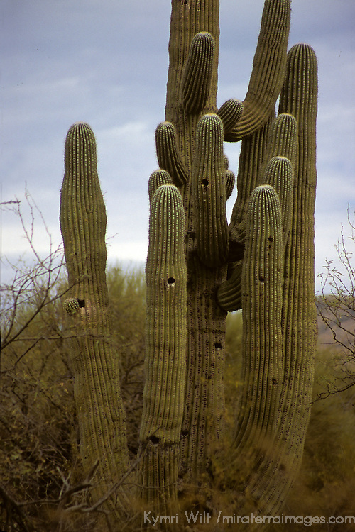 USA, Arizona, Tucson. Saguaro National Park (East). Mature Saguaro Cactus with nest holes.