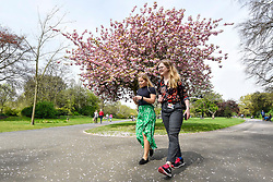 © Licensed to London News Pictures. 18/04/2019. LONDON, UK.  Women walk by a cherry tree which is in full blossom in Regent's Park.  The forecast is for increasingly warmer weather for the Easter weekend.  Photo credit: Stephen Chung/LNP