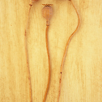 Three dried seedheads of Oriental poppy or Papaver orientale lying with their kinky wooden stems on rough beige surface