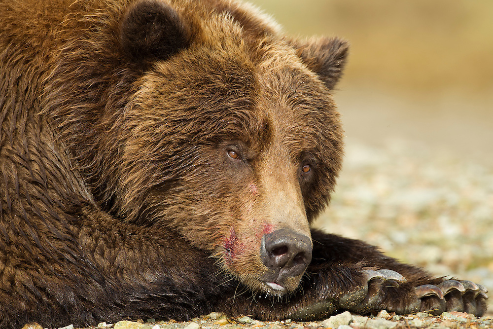 USA, Alaska, Katmai National Park, Close-up of Coastal Brown Bear (Ursus arctos) covered in blood while resting along salmon stream by Kinak Bay