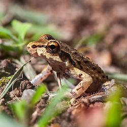 """""""Perereca (Hylidae) fotografado em Cariacica, Espírito Santo -  Sudeste do Brasil. Bioma Mata Atlântica. Registro feito em 2012.<br /> <br /> <br /> <br /> ENGLISH: Frog photographed in the city of Cariacica, Espírito Santo - Southeast of Brazil. Atlantic Forest Biome. Picture made in 2012."""""""