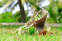 Friendly green iguanas are part of urban fauna in northeast coast of Brazil. Shiny scales and very attractive color patterns.