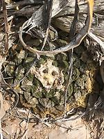 Living Rock Cactus, (Ariocarpus fissuratus), Big Bend National Park, Texas