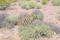 "A rare find! Usually found singly, this trio of young fishhook barrel cacti was found and photographed in the Alamo Canyon, deep in the Ajo Mountains of Southern Pima County, Arizona near the Mexican border.  The fishhook barrel cactus is a rather common large barrel cactus found in the Sonoran and Chihuahuan Deserts of the American Southwest with a range stretching from Arizona through New Mexico to Texas, as well as south of the border into the northern parts of the Mexican states of Sonora and Chihuahua. As with many cacti, it has many regional names such as the Arizona barrel and biznaga-barril de Nuevo México and is found in open rocky ground, shrub-steppe, chaparral and at the base of desert hills and mountains where there is some gathering of water during seasonal rains. Mature plants can reach upwards of 5 feet tall, and live to 50 to 130 years, and as they get larger, they will tend to lean to face south or southwest-ward, which is why come people also call it the compass cactus. Vicious recurved spines (or ""fishhooks"") protect it from predators such as javelinas, and the fleshy yellow fruits are an important food source for birds, mule deer, and javelinas."