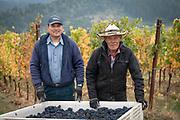 Harvest 2018 at Fairsing Vineyard ,Yamhill-Carlton AVA, Willamette Valley, Oregon