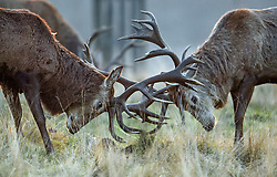 © Licensed to London News Pictures. 04/01/2019. London, UK. Deer stag rutting in Richmond Park, West London on a cold winter morning, as temperatures across the UK drop dramatically. Large parts of the UK are expecting heavy snowfall in the early parts of 2019 following unusually mild temperatures for most of the winter. Photo credit: Ben Cawthra/LNP