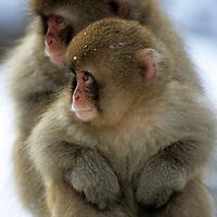 Japan, Nagano-ken, Yudanaka. February/11/2005...Young Japanese Macaques huddled together at Yudanaka Monkey Onsen.