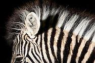 """Damara-Zebra (Equus burchellii antiquorum) Damara-Zebra is a plain zebra, belongs the horse family. Its habitat is the savanna and semi-deserts of Africa. The coloring of the plain zebras is locals as well as individualley very different. Depending on local race the color of the stripes is different from varnish black to dark reddish brown, the bright ground color from clear white to riddish brown. Some have shadow stripes between the black and white coloring. The subspecies of the plains zebra differ in the striped pattern, which serves as camouflage. A black and white mane extends from the head to the withers. Zebra youngs have a more brownish and fluffy thick coat that changes in a few weeks in the striking white with black stripes. The typical zebra short, erect mane is on the foals still rumpled in all directions. Krefeld, North Rhine-Westphalia, Germany.This picture is part of the series """"Creature's Coiffure""""..Damara-Zebra (Equus burchellii antiquorum) Das Damara-Zebra ist ein Steppenzebra und gehoert zu der Familie der Pferde. Sein Lebensraum sind die Savannen und Halbwuesten Afrikas. Die Faerbung der Steppenzebrarassen ist oertlich sowie auch individuell ausserordentlich verschieden. Die Keulenzeichnung aber reicht immer weit auf die Koerperseiten hinaus. Je nach lokaler Rasse unterscheidet sich die Farbe der Streifung von lackschwarz bis dunkelrotbraun, die helle Grundfarbe von klarweiss bis roetlich braun. Dabei zeichnet sich das Fell durch ,,Schattenstreifen"""" aus, die manchmal die weissen Streifen ueberlagern. Die Unterarten des Steppenzebras unterscheiden sich im Streifenmuster, das wegen seiner gestaltaufloesenden Wirkung als Tarnung dient. Eine schwarz-weisse Maehne erstreckt sich vom Scheitel bis zum Widerrist. Zebra-Jungtiere haben im Gegensatz zu ihren Eltern ein eher braeunliches und flauschig dickes Fell, das erst in einigen Wochen in das markante Weiss mit schwarzen Streifen wechselt. Auch die für Zebras typische kurze, aufrecht stehende Maehne i"""