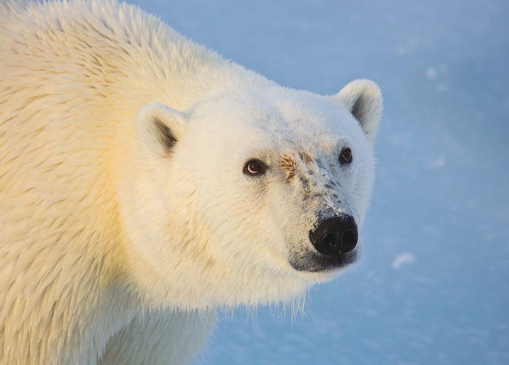 Polar Bear Face (Ursus maritimus)