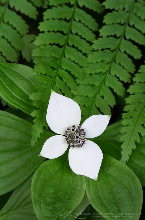 Bunchberry (Cornus canadensis) and Oak Fern (Gymnocarpium dryopteris)