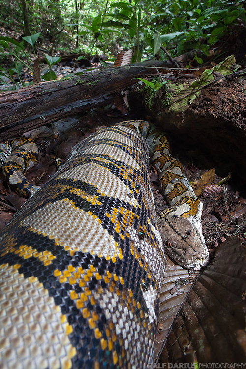 Reticulated python (Broghammerus reticulatus resp. Python reticulatus) of about 4 m length in a lowland dipterocarp rainforest in Ulu Temburong National Park, Brunei (Borneo)