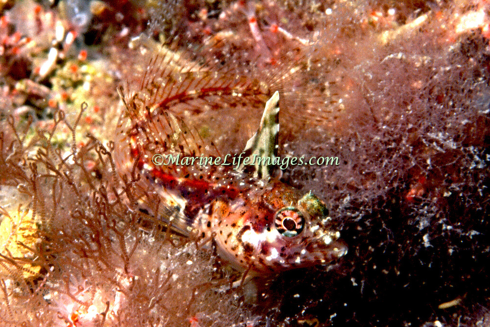 Red Banner Blenny inhabit reefs and ares of rocky rubble from Dominica to Venezuela; picture taken  Margareta Is, Venezuela.