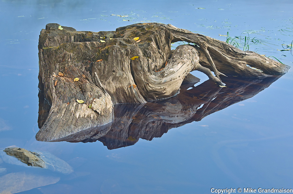 Tree stump in Prudhomme Lake , Prudhomme Lake Provincial Park, British Columbia, Canada
