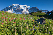Summer wildflowers, including Indian paintbrush, pasque flower, and lupine, color the Paradise Meadow in Mount Rainier National Park, Washington.